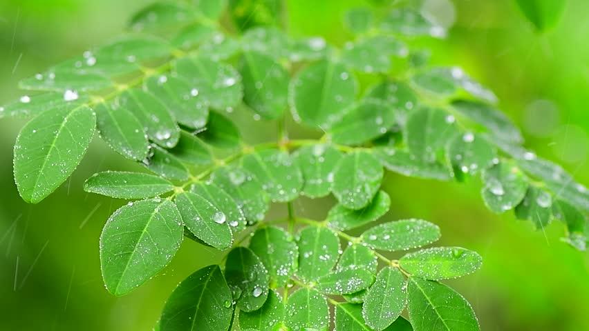 Closeup of moringa tree leaves with rain drops  #1014123110