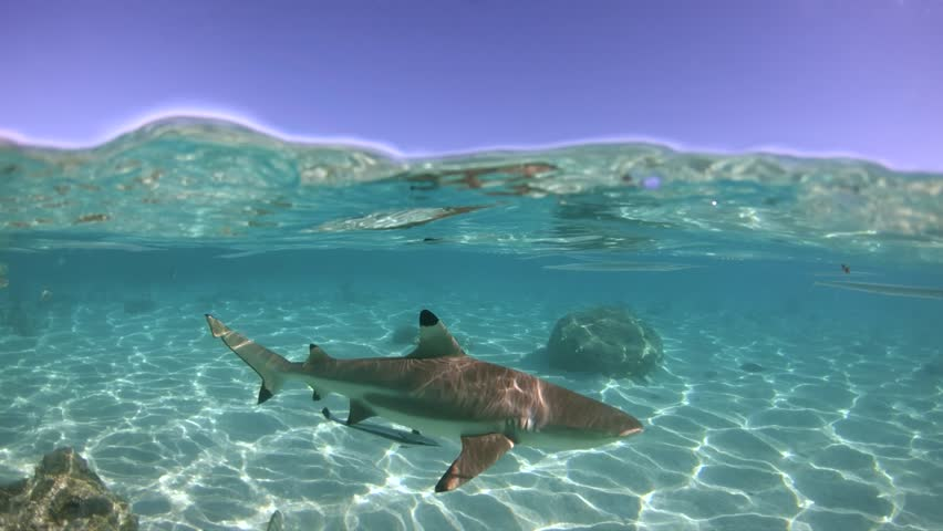 Over under sea surface sharks,tropical fish and bird ,Pacific ocean, French Polynesia | Shutterstock HD Video #1014143225