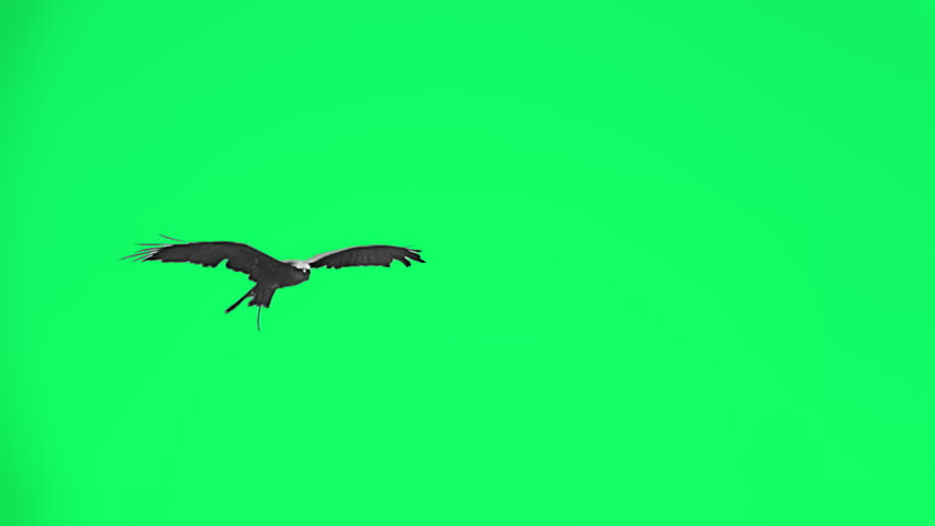 Falconry eagle flying in slow motion - separated on green screen.