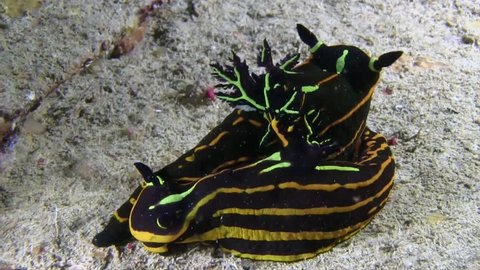Two Roboastra luteolineata nudibranch are going mating inside wreck Thistelgorm in the night in Red sea,