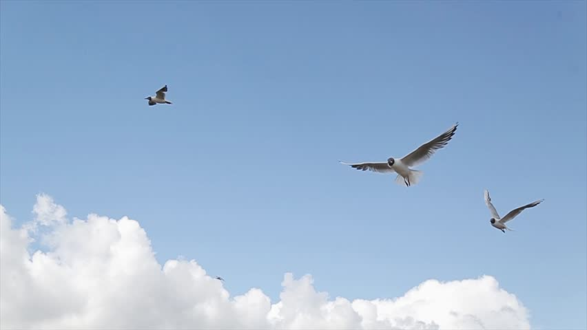 Birds over boundless expanse air. Beaches and coastline. Slow Motion of group common seagulls flying on the mediterranean see. Gull fly over the ocean. Flock of seagulls on the seashore. | Shutterstock HD Video #1014204698