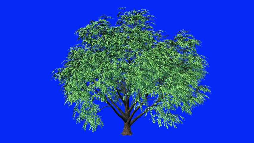 Blowing on the wind beautiful green full size trees isolated on Blue Screen  perfect for digital composition. tree animation. 4K High Resolution Tree animation. | Shutterstock HD Video #1014249572