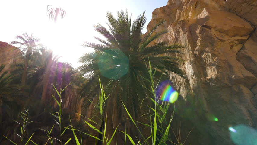 Sun flare through palm tree in Chebika oasis in canyon, Sahara desert