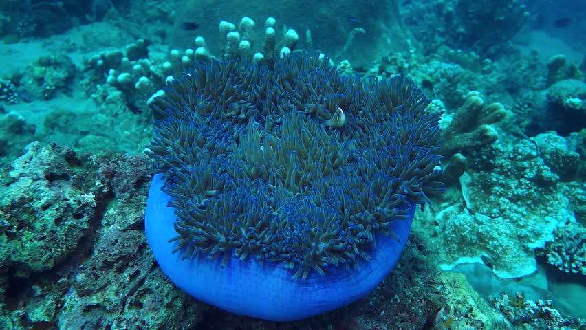 Move around large anemone with purple base and purple tipped tentacles with clownfish at Anilao in the Philippines. #1014377843