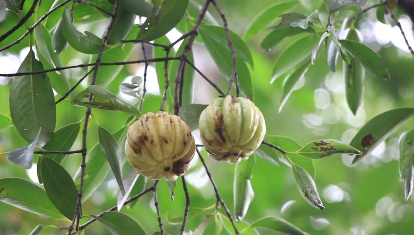 Garcinia Cambogia Stock Video Footage 4k And Hd Video Clips