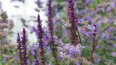 lavender and Heather flowers, background of garden and field flowers. Dolly video