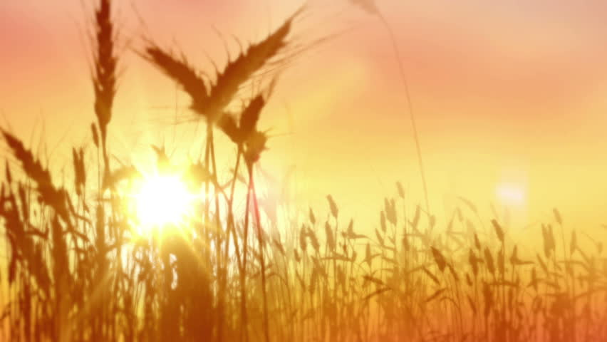 Wheat field. Ears of golden wheat close up. Beautiful Nature Sunset Landscape. Rural Scenery under Shining Sunlight. Background of ripening ears of wheat field. Rich harvest Concept.  #1014448793