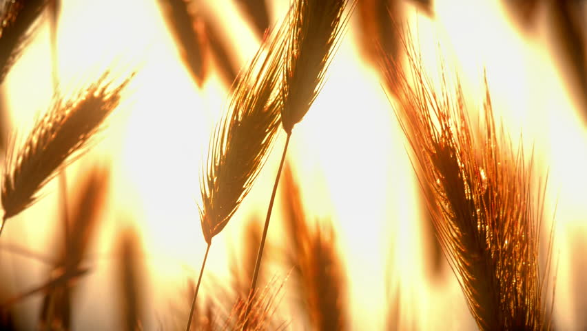 sunset grass in filed 4k #1014472091