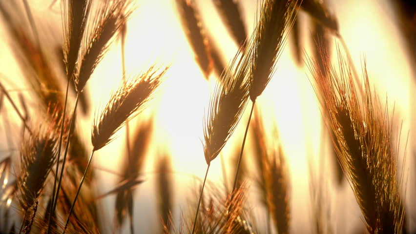sunset grass in filed 4k #1014472094