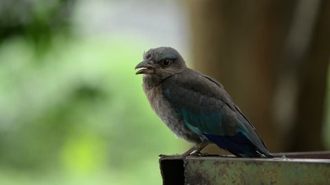 Voice of Indian-roller. It is a blue bird. It is a bird of Japanese belief that it is a lucky bird.