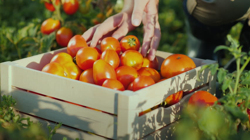 A woman farmer collects tomatoes on the field and puts it in a wooden box, only the hands are visible in the frame