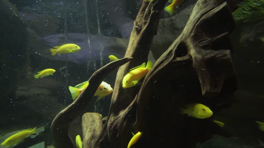 Beautiful fish float in a freshwater aquarium stock footage video
