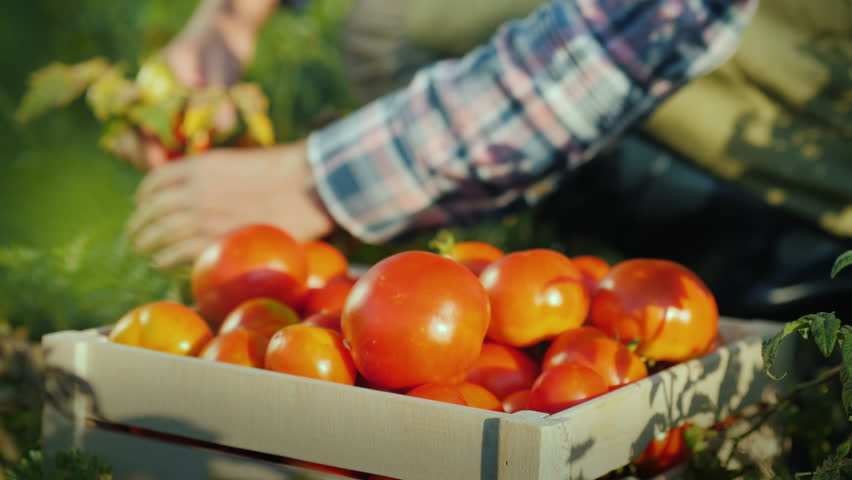 The worker collects tomatoes in the field, puts them in a wooden box. Fresh organic products