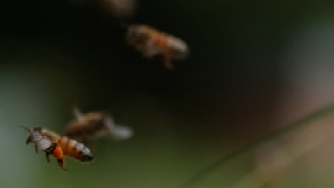 European Honey Bee, apis mellifera, Bee in Flight, Return to the Hive with Balls Loaded with Pollen, Slow motion