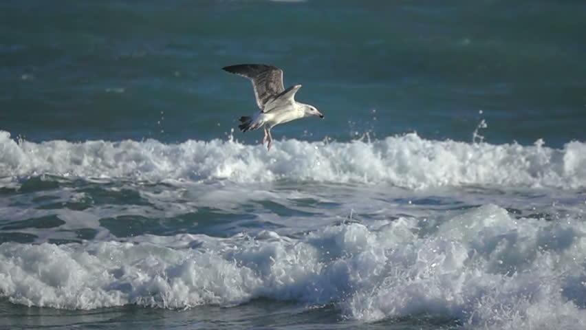 Sea bird seagull super slow motion   Shutterstock HD Video #1014693749