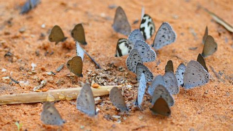 Many species of butterflies in many colors Forage on sand surface .High quality footage - original size 4k (3840x2160