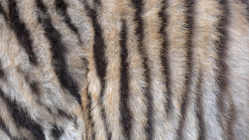 Tiger fur tracking shot | Shutterstock HD Video #1014757910