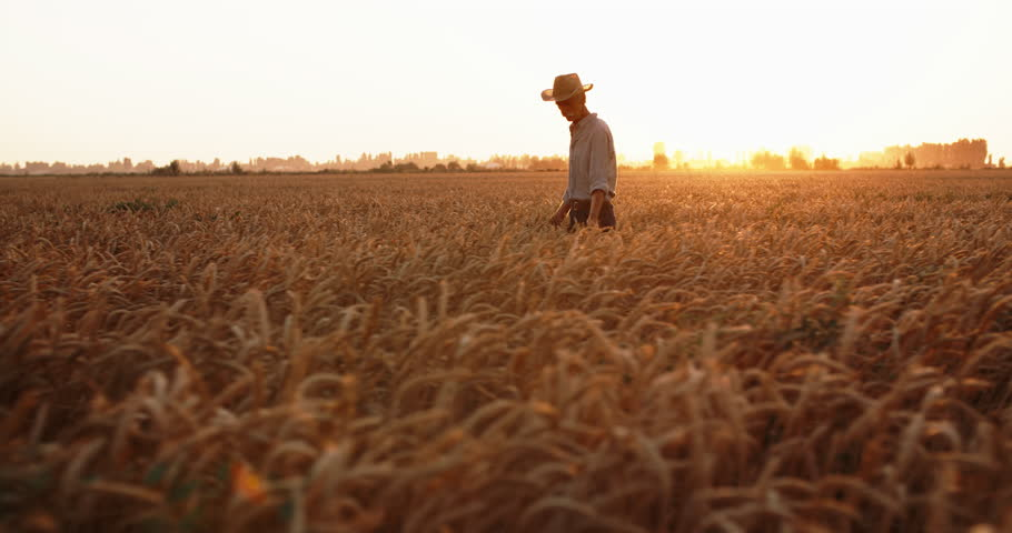 Elderly caucasian male farmer touching ears of wheat in field in sunset - agriculture, farming concept 4k