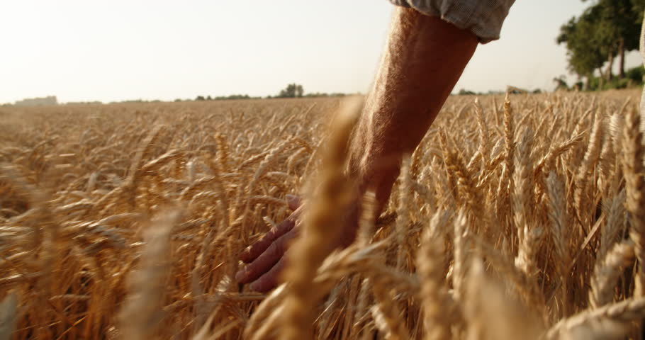 Old farmer walking down the wheat field in sunset touching wheat ears with hands - agriculture concept 4k