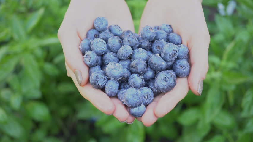 Blueberries in hand on green background,Handful of fresh and health berries   Shutterstock HD Video #1014764825