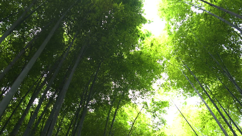 High Angle Gliding Shot of the Beautiful Bamboo Forest with Leaves and Sun Shining Through the Tree Tops. Shot on Sony a7R3 4K UHD Camera. | Shutterstock HD Video #1014801383