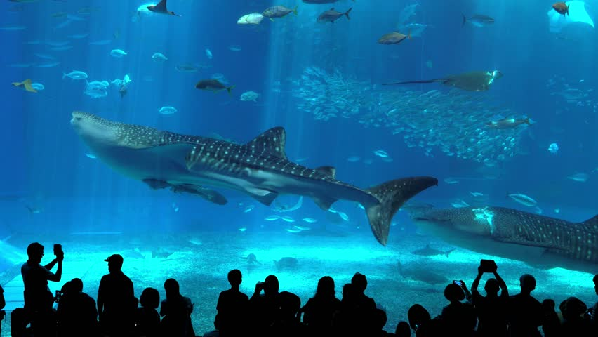 Okinawa Aquarium 4K with Beautiful Whale sharks and various kinds of fish swimming in the main tank. Silhouettes of People observing fish at the aquarium. Location: Okinawa Churaumi Aquarium, Japan.