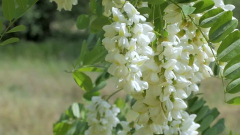 close up of white acacia flowers on the tree