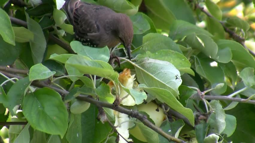 Juvenile bird, starling eating apple fruit on the apple tree branch