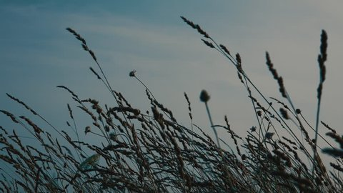 Dry grass in rural countryside swaying on light breeze