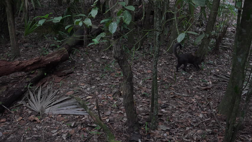 Jaguarundi Lone Running Low Light Darkness