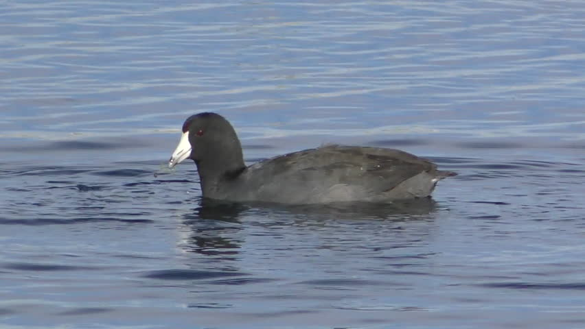 Coot Adult Lone Diving Submerging Dry Season Food Bottom Feeder in New Mexico   Shutterstock HD Video #1014938587