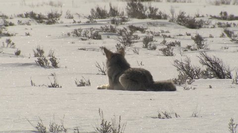 Coyote Adult Lone Bedded Resting Sitting in Winter in Wyoming