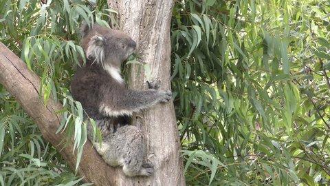 Koala Adult Lone Climbing