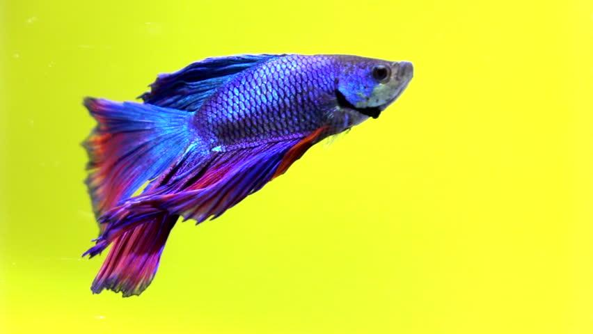 Siamese fighting fish beautiful in slow motion | Shutterstock HD Video #1014965320