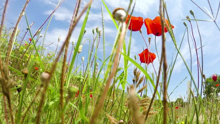 A flowering poppy field at sunset in Turkey. Sunny day.  | Shutterstock HD Video #1015000654