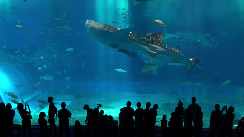 Okinawa Aquarium 4K with Beautiful Whale sharks and various kinds of fish swimming in the main tank. Silhouettes of People observing fish at the aquarium. Location: Okinawa Churaumi Aquarium, Japan.  | Shutterstock HD Video #1015006924