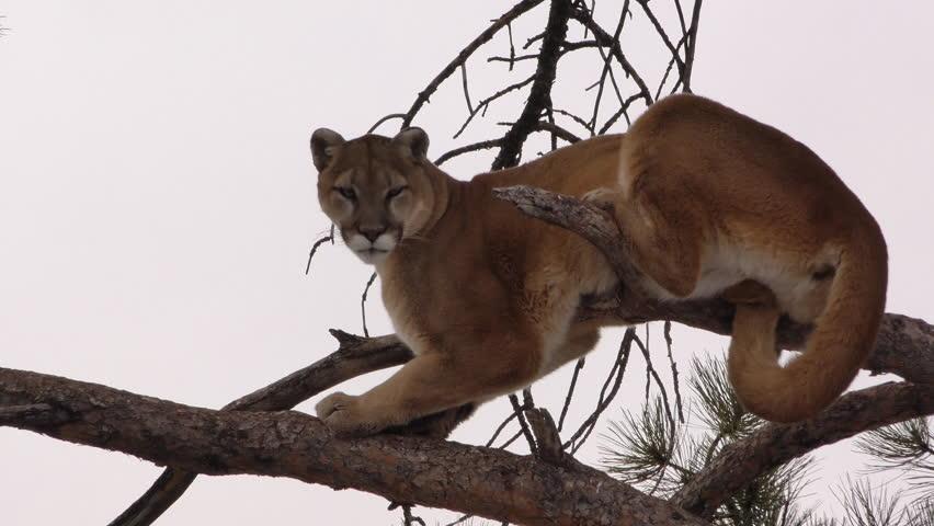 Mountain Lion Adult Lone in Winter Tree Branch in South Dakota