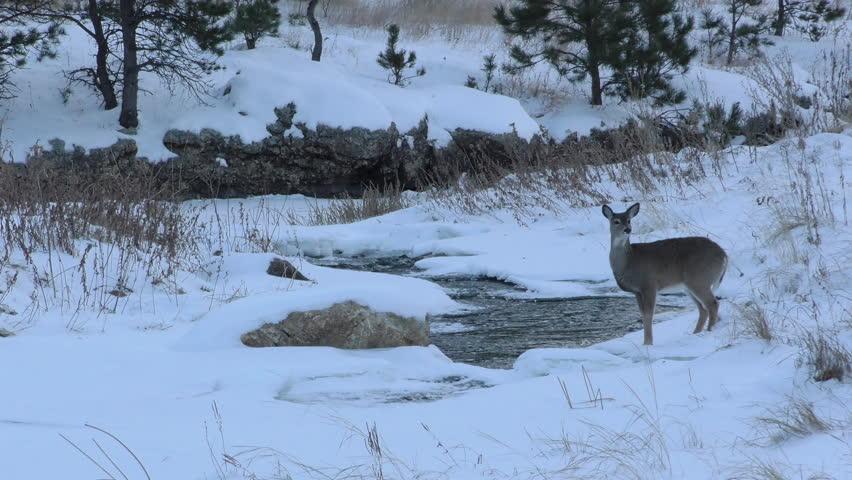 White-tailed Deer Doe Female Lone Drinking Water in Winter Snow Stream Water in South Dakota