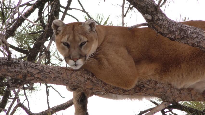 Mountain Lion Adult Lone Resting in Winter Tree Branch in South Dakota
