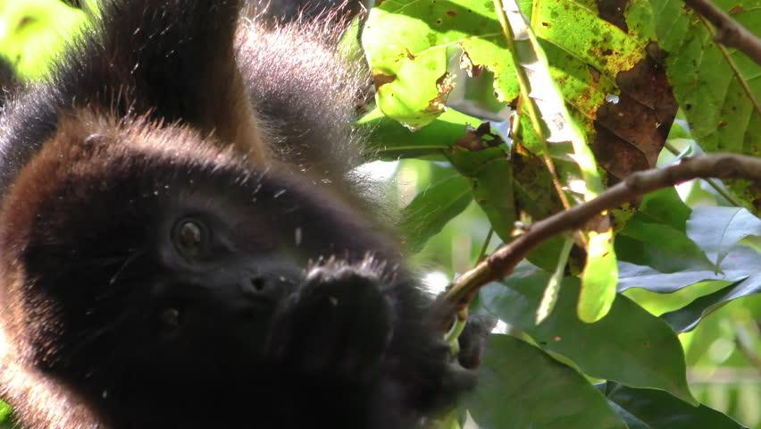 Howler Monkey Eating Dry Season Leaves Grabbing Chewing in Belize