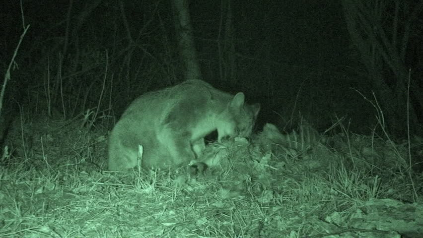 Mountain Lion Adult Lone Eating in Fall Chewing Buried Kill Predator Meat in South Dakota
