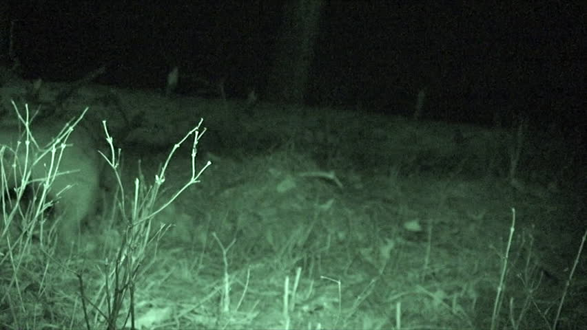 Mountain Lion Adult Immature Eating Chewing in Spring Carrion in South Dakota