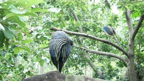 vulturine guineafowl stand in nature
