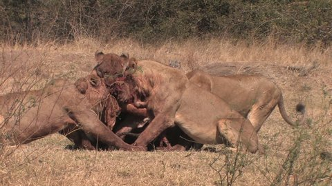 Lions fighting over remains of an impala kill