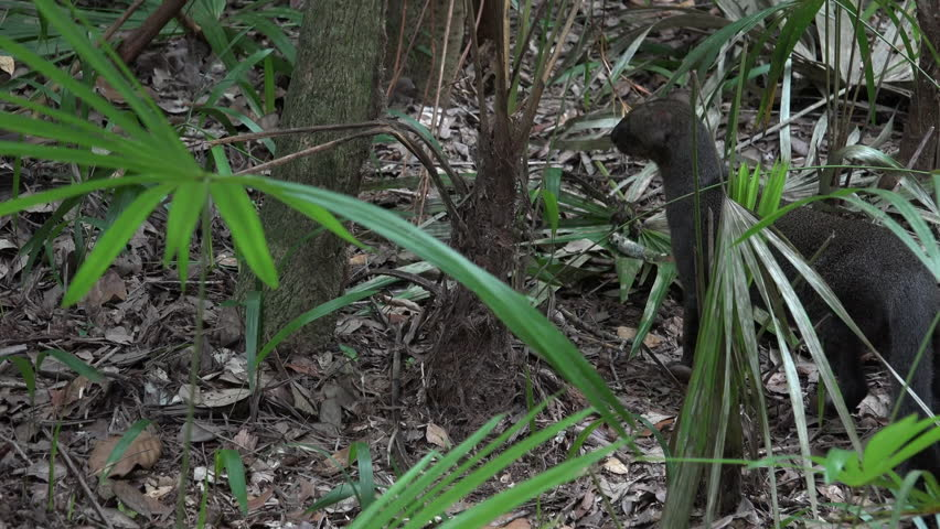 Jaguarundi Adult Lone Captive