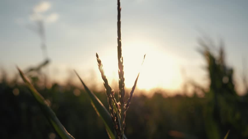Sunset over the corn field. Corn in the sun. | Shutterstock HD Video #1015126678