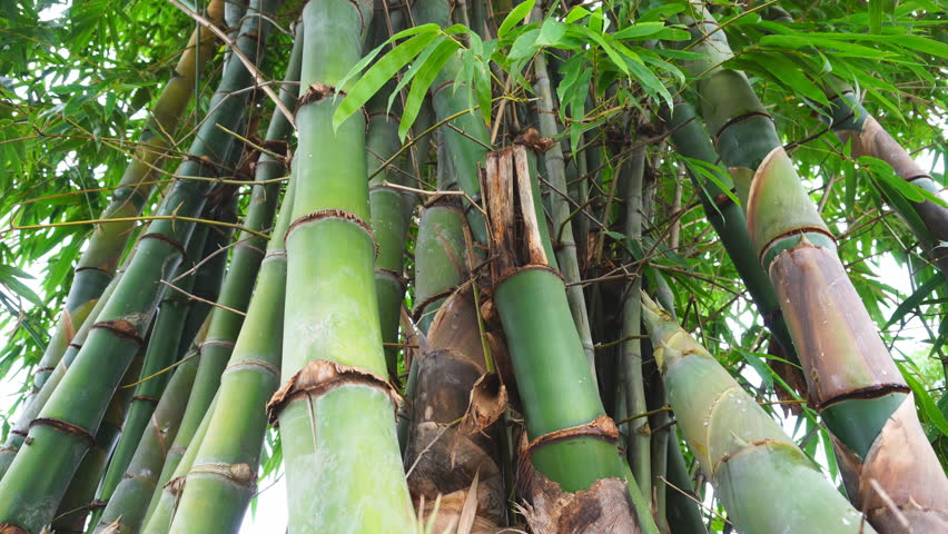 Bamboo Tree In The Nature Stock Footage Video 100 Royalty Free