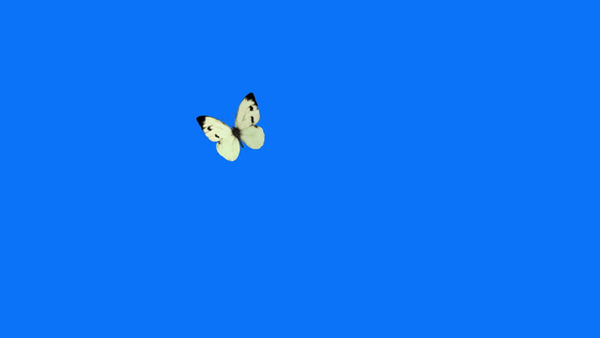 White Butterfly Cabbage Flying on a Blue Background. Beautiful 3d animation.