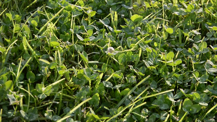 Background close-up of a green clover in the grass. green grass swaying by the wind on a summer sunny morning. retreating zoom | Shutterstock HD Video #1015165336