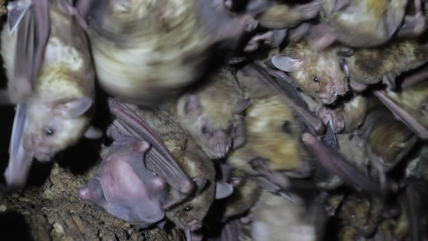 Large colony of antillean fruit-eating bats in a cave on the island of Antigua, Caribbean